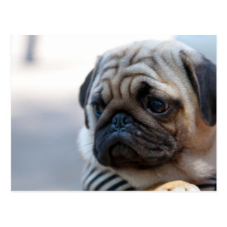 Cute Pug Face Closeup Postcard