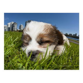 Cute puppy dog in park, Vancouver, BC, Canada. Postcard
