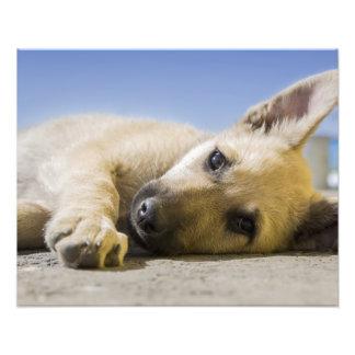 Cute puppy dog resting photo print