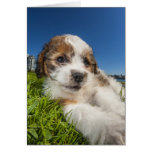 Cute puppy dog (Shitzu) Card