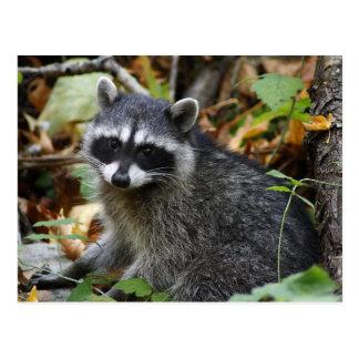 Cute Raccoon Kit Postcard