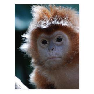 Cute Red Langur Monkey Postcard