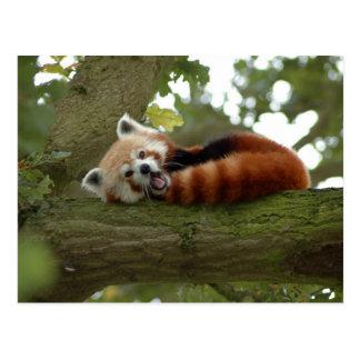 Cute Red Panda Bear Nature Destiny Postcard