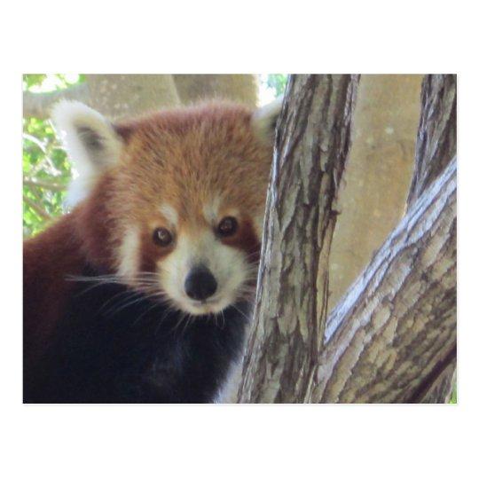 Cute Red Panda Postcard