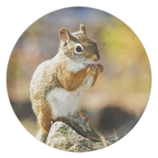 Cute red squirrel eating nut plate