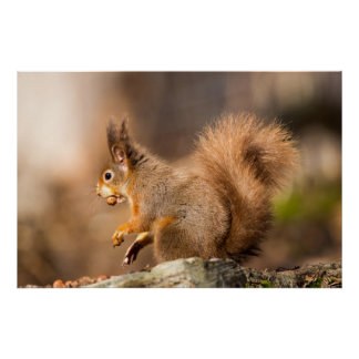 Cute Red Squirrel gathering nuts Poster