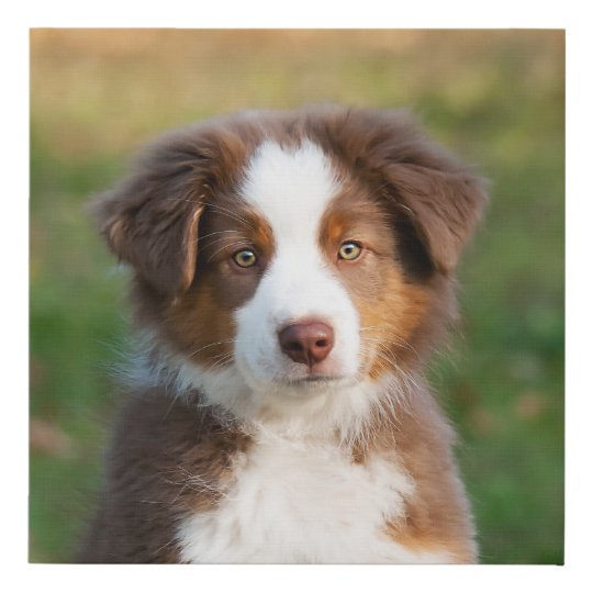 cute red tri australian shepherd dog puppy photo   faux canvas print