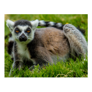 Cute ring tail lemur design products postcard