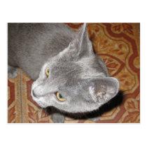 Cute Russian Blue Kitten Postcard