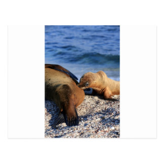 Cute sea lion pup suckling from mother on beach post card