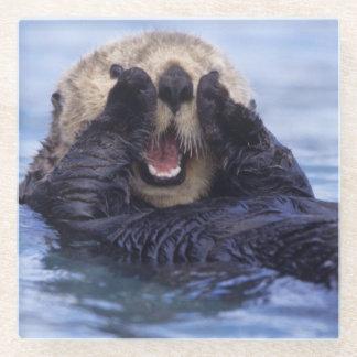 Cute Sea Otter   Alaska, USA Glass Coaster