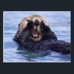 "Cute Sea Otter | Alaska, USA Postcard<br><div class=""desc"">NA,  USA,  Alaska Sea otters are the largest members of the weasel family in North America � Daisy Gilardini / DanitaDelimont.com</div>"