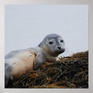 Cute Seal Pup Poster