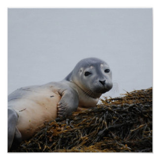 Cute Seal Pup Posters