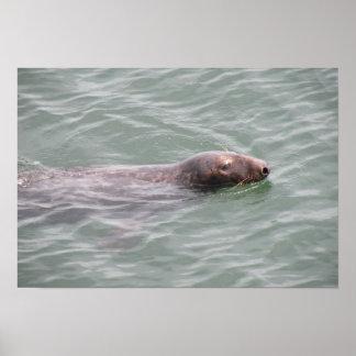 Cute Seal Swimming at the Fish Market Poster