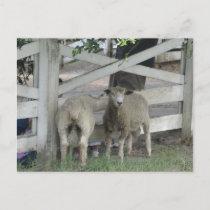 Cute Sheep Announcement Postcard