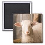 Cute Sheep Fridge Magnets