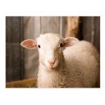 Cute Sheep Postcard