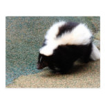 Cute Skunk Postcard
