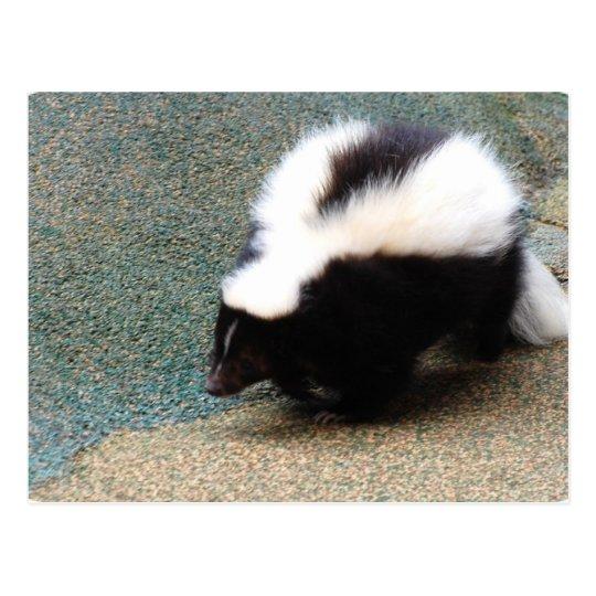 Cute Skunk Postcard