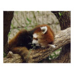 Cute Sleeping Red Panda w/ Food in Its Mouth Poster