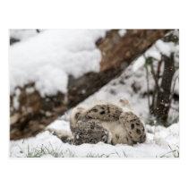 Cute Snow Leopard Plays in Snow Postcard