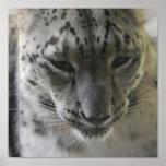 Cute Snow Leopard Poster