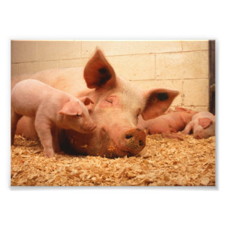 Cute Sow with Piglets Photo Print