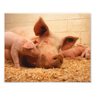 Cute Sow with Piglets Art Photo