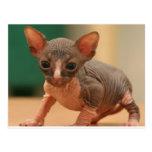 Cute sphynx kitten postcard