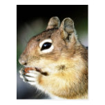 Cute Squirrel Close-Up Post Cards
