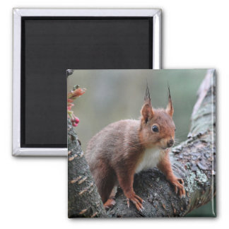 Cute squirrel in a tree refrigerator magnet