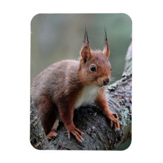 Cute squirrel in a tree magnet