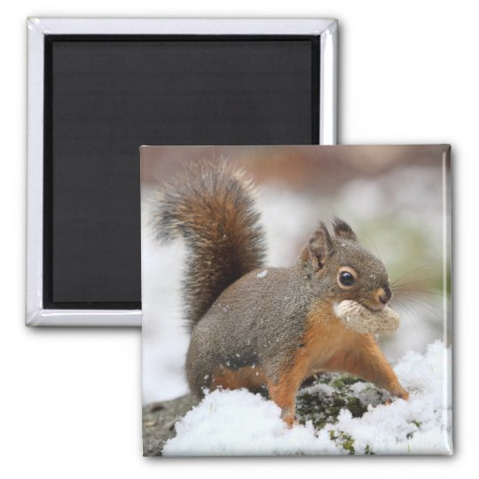 Cute Squirrel in Snow with Peanut Magnet