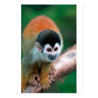 Cute squirrel monkey Panama tropical rainforest Postcard