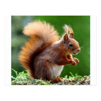 Cute Squirrel Picture Postcard