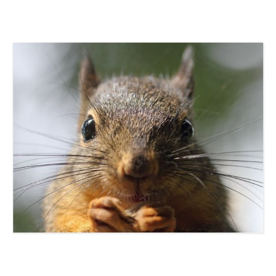 Cute Squirrel Smiling Macro Photo Postcard