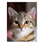 Cute Tabby CAt Kitten Postcard
