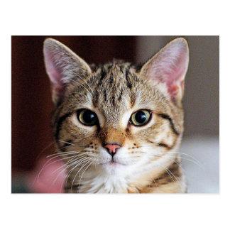 Cute Tabby CAt Kitten Post Card