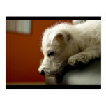 Cute Terrier Puppy Post Cards
