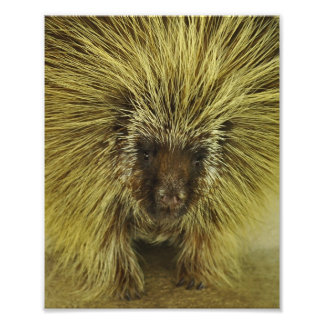 Cute Texas Porcupine Photo Print