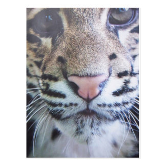 Cute Tiger Eyes Postcard