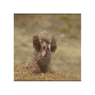 Cute Toy Poodle Wood Wall Art