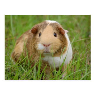 Cute, Tricolor Guinea Pig in Green Grass Postcard
