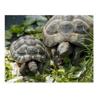 Cute Turtles Postcard