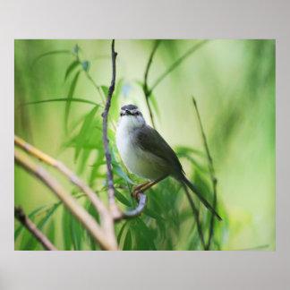 Cute Wagtail bird Poster