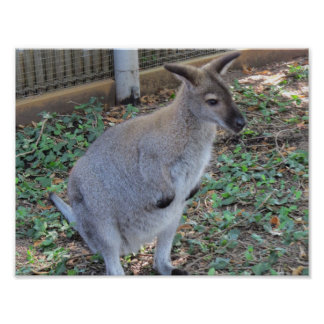 Cute Wallaby Animal 11''8 x 5 Posters