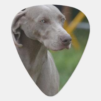 Cute Weimaraner Dog Pick