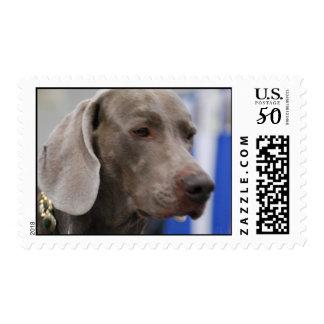 Cute Weimaraner Postage Stamp