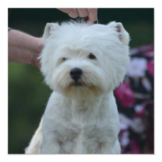 """Cute West Highland White Terrier 5.25"""" Square Invitation Card"""